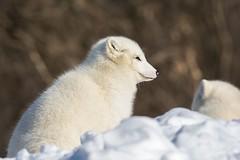 Renard Artique / Arctic Fox (ALLAN .JR) Tags: renard fox nature wildlife arctic écomusé nikon hank you very much
