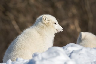 Renard Artique / Arctic Fox