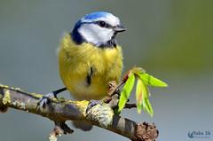 Bonjour Printemps, Bonjour Bruxelles! (Yako36) Tags: belgium brussels parcfrankveld beersel ave bird birdwatching nature natureza tc14e nikonafs300f4 nikond7000