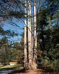 Metasequoia glyptostroboides (Dawn Redwood) (Plant Image Library) Tags: arnold arboretum winter february 2017 plants landscape metasequoiaglyptostroboides dawnredwood cupressaceae 348a stem trunk bark whole plant