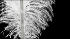 Oh Feather Honey (flowrwolf) Tags: macromonday bw bwformacromondayblackandwhiteformacromonday macro makro makrophotography tokinalens canon blackandwhite blackandwhitefeather blackbackground naturallight nature birdfeather albatrossfeather fluffyfeather featherofabird bright founditonthebeach inverlochvicau inverlochau 89for117in2017 thebestthingsinlifearefree 117picturesin2017 117in2017 flowrwolf