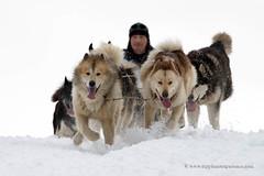 Sled dog race (My Planet Experience) Tags: siberian husky alaskan malamute greenland nordic sled snow dog animal race racing running musher mushing pulka pulk sledge sleigh white winter alaska yukon siberia myplanetexperience wwwmyplanetexperiencecom