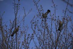 french pigeons (Jason Scheier) Tags: france paris trees pigeons tree nature