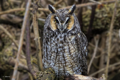 Long-eared Owl (shimmer5641) Tags: asiootus longearedowl raptor birdofprey birdsofbritishcolumbia birdsofnorthamerica