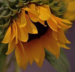Wilting Away (ACEZandEIGHTZ) Tags: nikon d3200 sunflower plant yellow macro closeup bokeh coth coth5 ngc npc saariysqualitypictures
