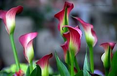 The Zantedeschia flower (also called arum or calla) (jackfre 2) Tags: belgium antwerp flowers calla arum zantedeschia colours elegant