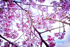 春天氣息 (丸子呆) Tags: sakura 櫻花 梨山 台中 和平區 台灣 taiwan
