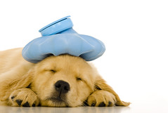 Golden Retriever puppy (ngoilei3) Tags: goldenretriever puppy 8weekold cute adorable whitebackground icebag sick ill undertheweather asleep napping risingsun md usa