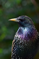 Starling ... Sturnus vulgaris