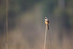 Long-tailed shrike or rufous-backed shrike (Lanius schach), Rajaji National Park, India (GregoireDubois) Tags: 2017 india nationalpark rajaji rajajinationalpark longtailedshrike laniusschach