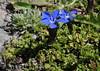 Gentiana bavarica ssp subacaulis (Bavarian Gentian) (Hugh Knott) Tags: flora zermatt switzerland gentianaceae helvetica valais gentianabavarica bavariangentian
