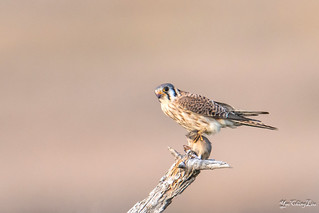 American kestrel (female) with a vole