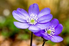 (Andreas.W.) Tags: leberblümchen frühling spring mühlviertel markro zwischenring wood wald hepatica xf27