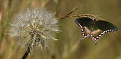 Butterfly enchanted by a Dandelion (Hannah 0013) Tags: butterfly dandelion blowball canon 250mm swallowtail nature