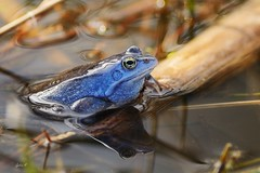 Herr Moorfrosch (Caora) Tags: frog pond eggs frosch laich germany march blue moorfrosch moor