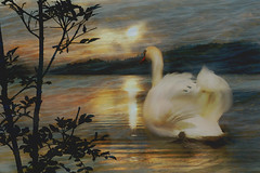 Swan (evisdotter) Tags: swan svan morning light bird fågel water reflections 2in1 myart gimp