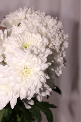 Chrysanthemums (WorldClick) Tags: chrysanthemums flower petals life phool pretty soft capture bunch flowers camera canon eos 1100d canoneos1100d vivid perspective photo photography photographer picture photograph angels