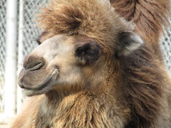 Bactrian Camel (AzhPhotos) Tags: bactriancamel brown camel