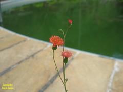 Macro (Janos Graber) Tags: flores pequenas vermelhas vegetal planta mendesrj mendes água piscina