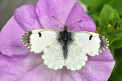 Female Orange Tip butterfly (Chimera Dave) Tags: scale female butterfly wing mauve petunia antenna orangetip