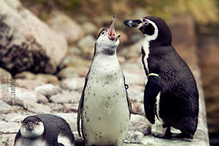 Screaming. (Raveniith) Tags: wild bird nature animal photography zoo penguin spring sweden wildlife screaming canon60d