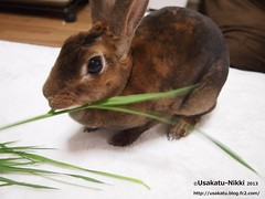 P5220418 () Tags: rabbit bunny usagi  minirex