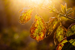Golden Leaves (FranklyVic) Tags: light summer sun sunlight plant leaves forest golden leaf woods warm lensflare flare magichour goldenhour