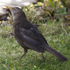 Blackbird head up (Jill Sawyer Phypers) Tags: feeding juvenile blackbird hertfordshire gardenbirds