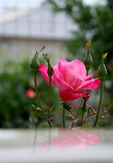 (late2lense) Tags: pink rose reflections petals foliage raindrops rosebuds