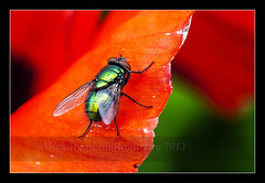 Green On Red (Mick Ryan Photography) Tags: red macro green insect fly