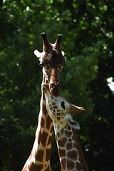 Lots Of Love (Dan Constien) Tags: blur green eye love neck mom zoo blurry eyes child bokeh ears spots henry parent madison giraffe nuzzle wi madisonwisconsin henryvilaszoo vilas