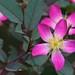 Redleaf Rose (Rosa glauca or Rosa rubrifolia)
