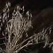 Cheatgrass or Downey Brome