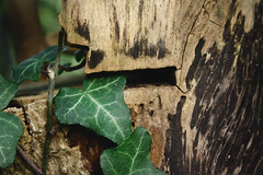 ivy (Green-Green-Green-Is-Everything-I-Have) Tags: park wood green ivy hidden stump scratched