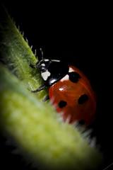 LADYBIRD (Davey J Hotspur) Tags: macro beetle ladybird ladybug tokina100mmf28atxprod