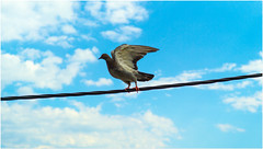bird on a wire (Flaxe) Tags: sky bird wire pigeon