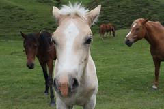 Horses (Mathew Knott) Tags: portrait horses italy horse closeup dolomites foal