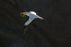 Male collecting seaweed for the nest (Wendy Cain Photography) Tags: newzealand auckland australasian gannet