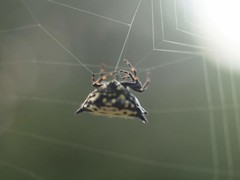 P9163735 (Hunter-Desportes) Tags: life insect star spider web southcarolina spiny crablike orbweaver spinybacked gasteracantha cancriformis