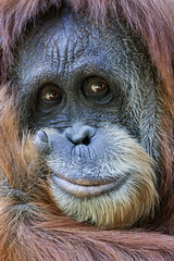 Orangutan Close Up (Mark Dumont) Tags: animals zoo mark cincinnati dumont