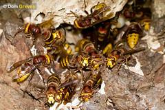 Hornet Lobby (Dom Greves) Tags: uk autumn woodland insect october nest wildlife surrey hornet invertebrate vespacrabro