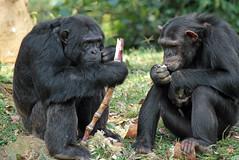 chimpansee Entebbe zoo IMG_0282 (j.a.kok) Tags: zoo chimpanzee uganda pantroglodytes chimpansee entebbe