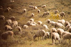 many many sheep grazing (Mysophie08) Tags: sheep many unitedstatesofamerica wyoming thumbsup infocus highquality friendlychallenges thechallengefactory herowinner storybookwinner pregamewinner gamesweepwinner drivethruwyoming