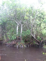 "Mangrove Trees • <a style=""font-size:0.8em;"" href=""http://www.flickr.com/photos/109120354@N07/11047182214/"" target=""_blank"">View on Flickr</a>"