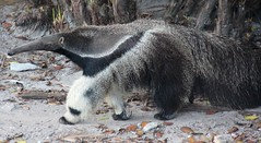 Anteater, A strangely designed animal - Explored!! (LarryJay99 ) Tags: animals zoo westpalmbeach anteater palmbeachzoo canonefs18135mmf3556is ilobsterit