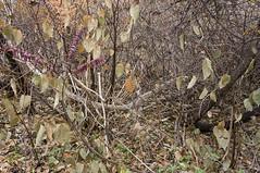 DSC04581NX5N  Leaves  © 2013 Paul Light (Paul Light) Tags: autumn leaves lexington massachusetts minutemanbikeway