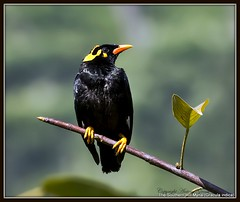 The Southern Hill Myna (AntoGros) Tags: india bird nature birds indian hill birding southern nilgiris myna indica indianbirds gracula graculaindica southernhillmyna birdsofnilgiris nilgirisbirds birdingnilgiris