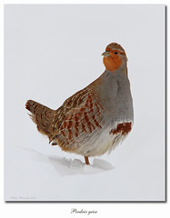 Perdrix grise / Gray Partridge 2 IMG_9451 (salmo52) Tags: birds oiseaux perdixperdix graypartridge perdrixgrise oiseauxduquébec gallinacés quebecbirds salmo52 alaincharette