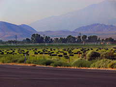 Hay Field in the Morning (lefeber) Tags: california road trees mountains field fence landscape morninglight desert roadtrip valley hay bales irrigation owensvalley atmosphericperspective aerialperspective sierranevadamountains