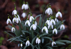 Spring-A-Ling-A-Ling (AnyMotion) Tags: flowers plants white floral colors garden spring colours blossom frankfurt ngc pflanzen npc blte garten snowdrop galanthus farben frhling 2014 schneeglckchen weis anymotion canoneos5dmarkii 5d2 vision:outdoor=0674 vision:plant=0503